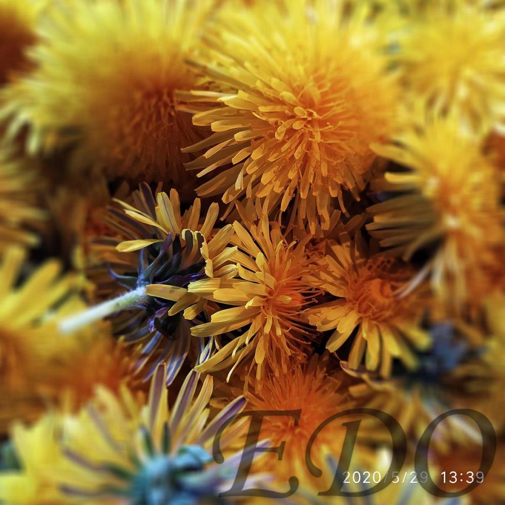 Желтые цветки одуванчиков для меда