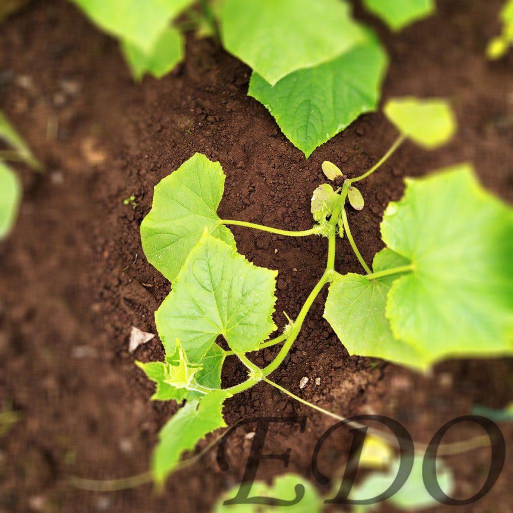 Стебли огурцов стеляться по земле.