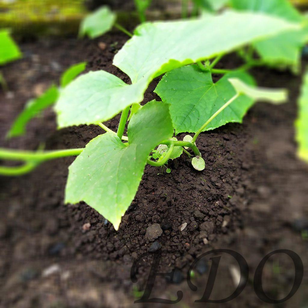 Стебли огурцов стеляться по земле без подвязки.