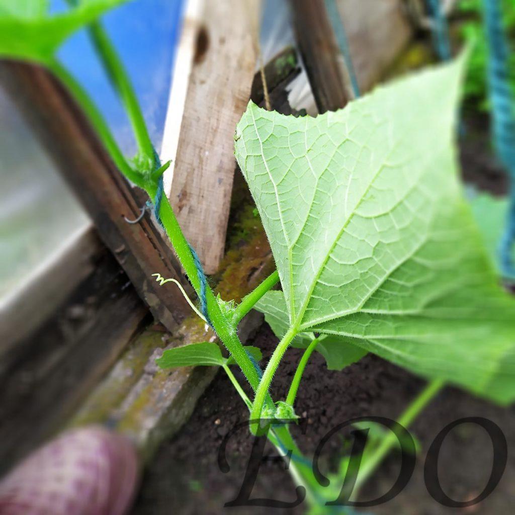 «Стройный куст» веревка вокруг стебля.