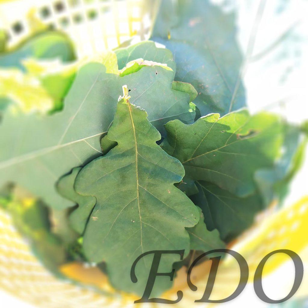 Дубовые листья для соленных огурчиков