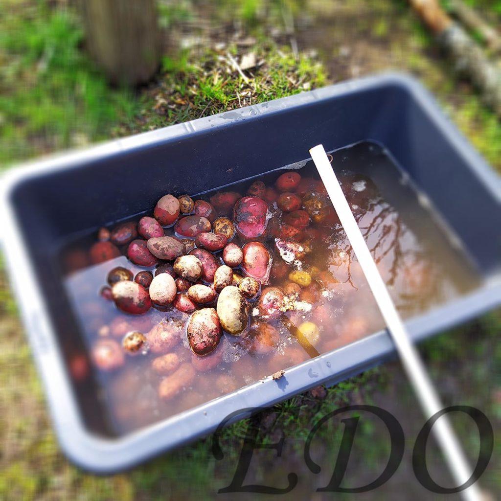 Картошка в тазу для помывки