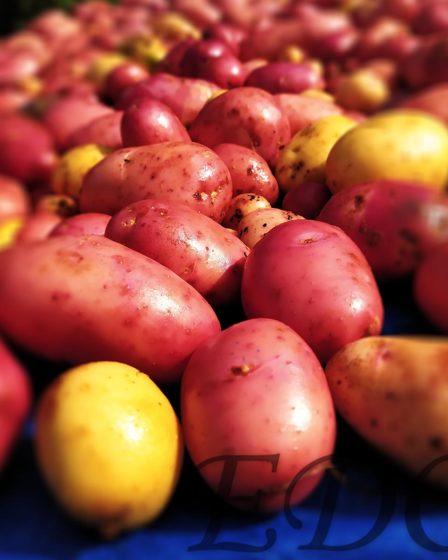 Картошка урожай синьор картофан