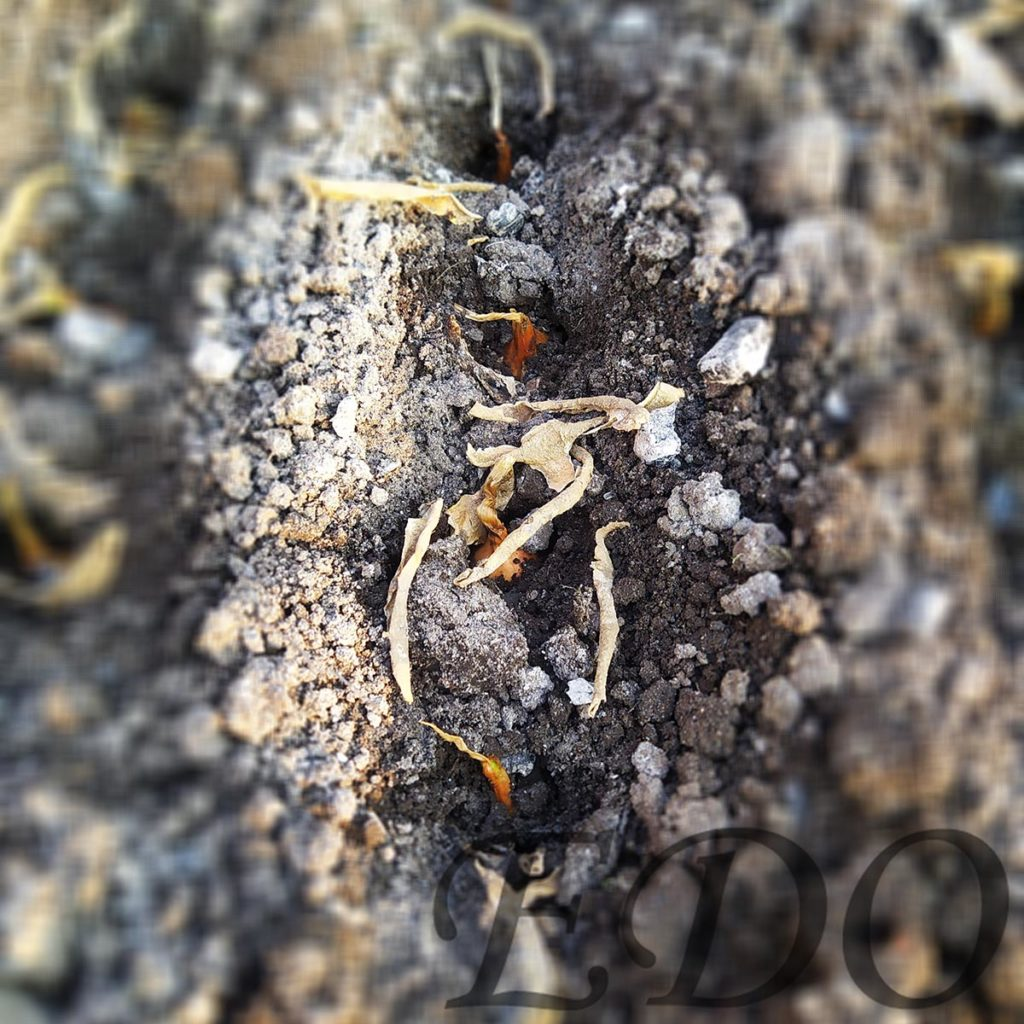 «Луковые малышки» воткнули в землю